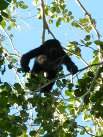 El Mirador: Howler monkeys