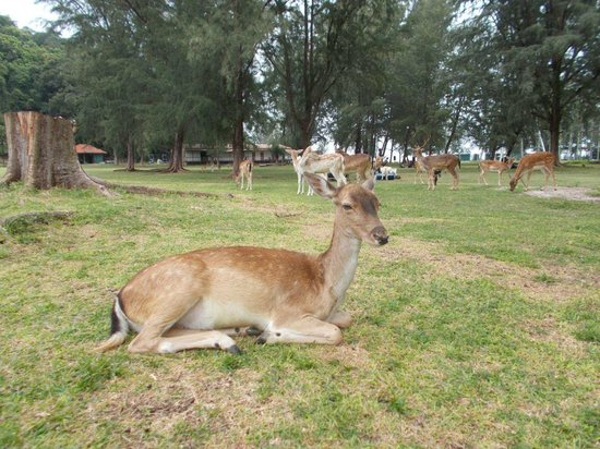Sibu Island Resort: Tame deer2