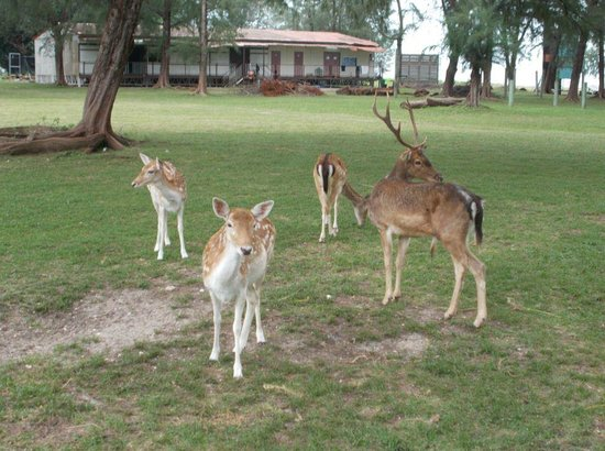 Sibu Island Resort: Tame deer1