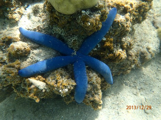 Nukubati Private Island: You can see so much star fish just snorkelling around Island