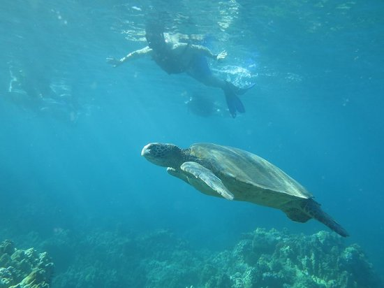 Maui Kayaks: One of the many many turtles we saw that morning.