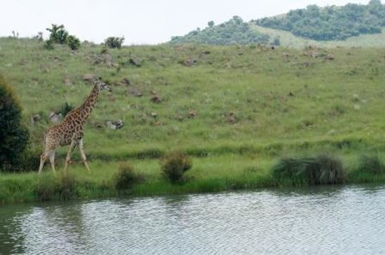 Bivane Game Lodge: Giraffe