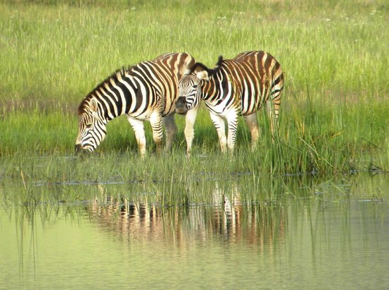 Sani Valley Lodge and Hotel: Zebra slaking their thirst in the stew pond