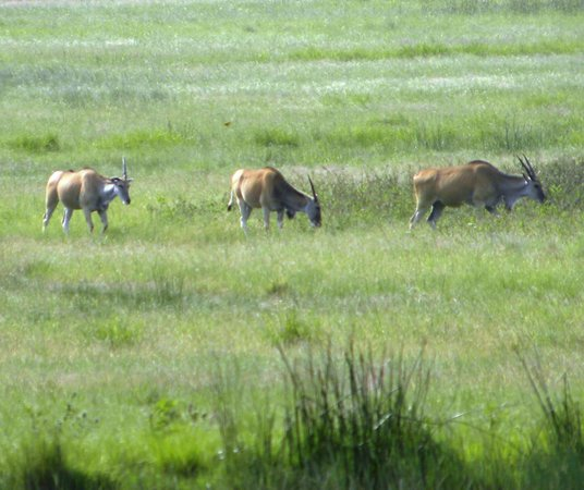 Sani Valley Lodge and Hotel: Eland grazing near the Early Mist chalets