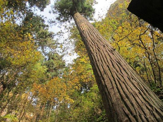 Risshaku-ji Temple: Old tree on path up Yamadera.