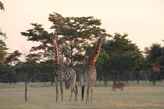 Vaalwater, South Africa: Giraffe and Eland on Matamba plain