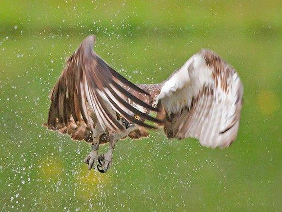 Aviemore Ospreys