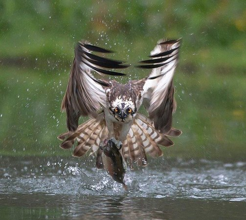 Aviemore Ospreys: Fully guided Wildlife photography in Aviemore