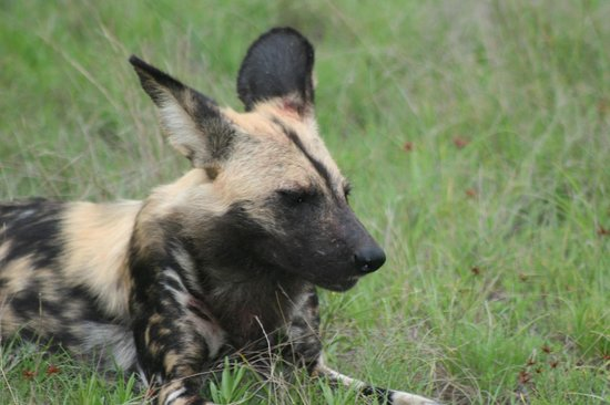 Notten's Bush Camp: The wild dogs