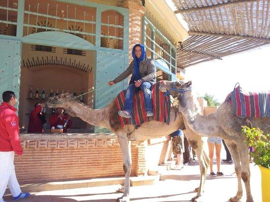 Club Med Marrakech La Palmeraie: Photos atypique même le dromadaire à le droit à son thé à la menthe après le spectacle.