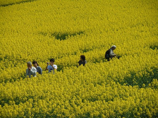Yokohama-machi, Ιαπωνία: labyrinth of canola flower fields