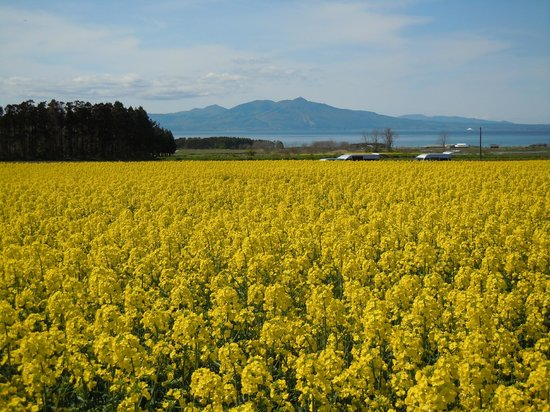 Yokohama-machi, Ιαπωνία: canola flower fields & M't kamabuse