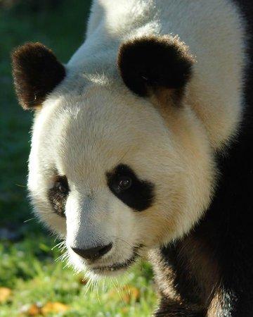 Saint-Aignan, Frankrike: Yuan Zi, l'un des fameux pandas du ZooParc de Beauval