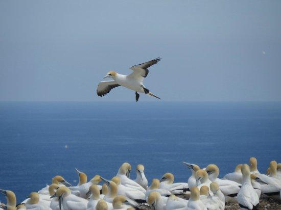 Cape Kidnappers: Gannet landing