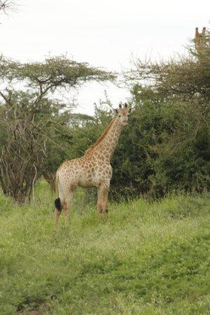 Paseando con jirafas