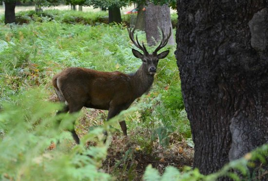 Stag at Richmond Park, October 2013