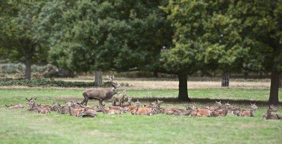 Deer at Richmond Park, October 2013