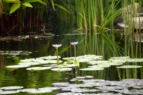 Bo Phut Resort & Spa : Lots of different coloured water lillies feature in the pond