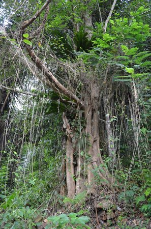 Kelimutu Crater Lakes Eco Lodge, Moni, Flores: Alter Baum