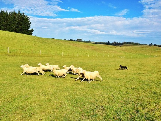 Gumtree Farmstay: Chasing sheep.