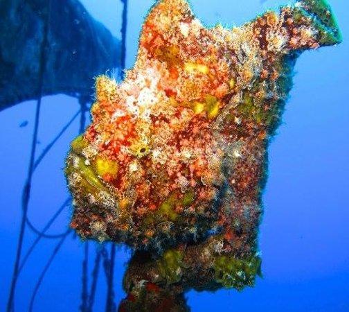 Scuba Luv Maui: GIANT FROGFISH