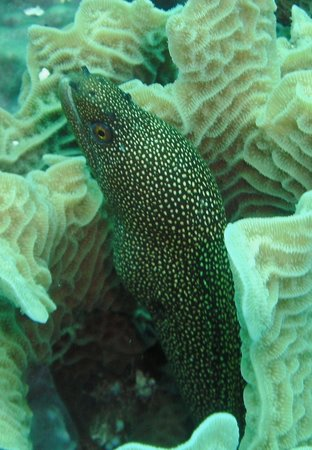 Buena Ventura Diving: Moray Eel