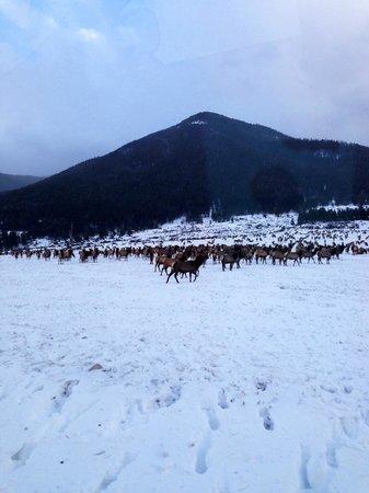 Wildlife Expeditions of Teton Science Schools: Elk