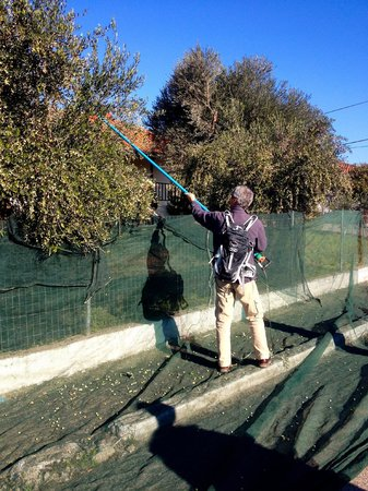 TaxiKatakolo Tours to Ancient Olympia: Harvesting olives on Andreas' tour