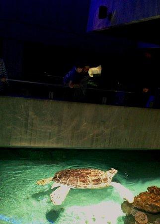 National Aquarium : Giant Sea Turtle