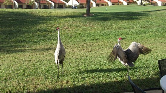 Holiday Inn Club Vacations At Orange Lake Resort: Sand Hill Cranes on the golf course