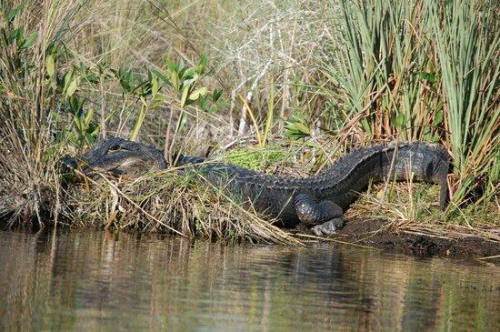 Tour the Glades - Private Wildlife Tours: Big Guy!!