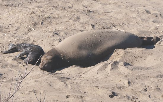 Ano Nuevo State Reserve: Female and Pup
