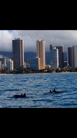 Aston Waikiki Beach Hotel : Dolphin pod Xmas day- literally 500m from hotel