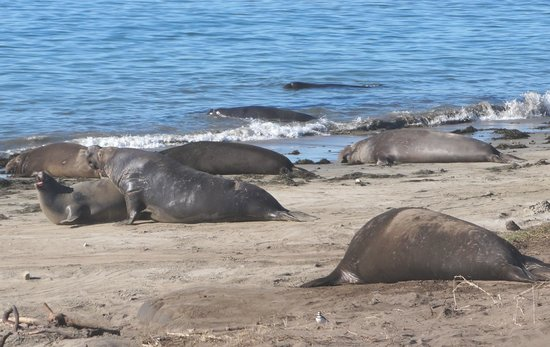 Ano Nuevo State Reserve: Seals on the Beach