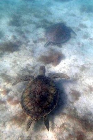 Maho Bay: Here's a pic with TWO turtles.  So much fun.