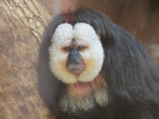 Red River Zoo: White-faced Saki.