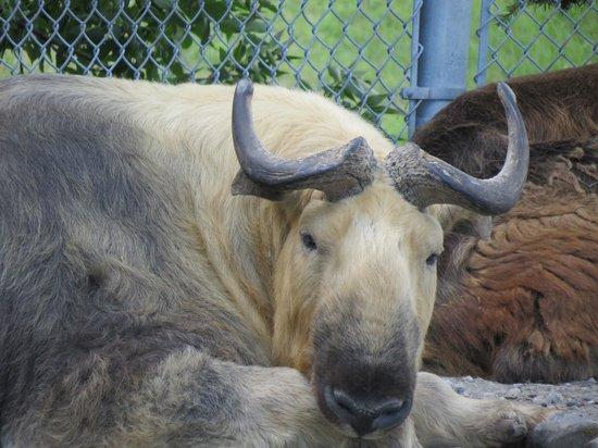 Red River Zoo: Takin.