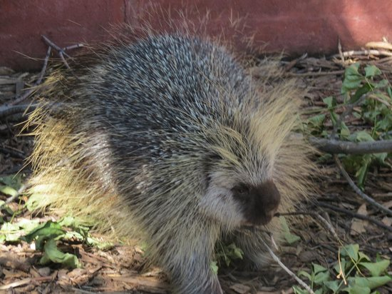 Red River Zoo: Porcupine.