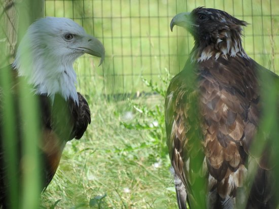 Red River Zoo: Eagles.
