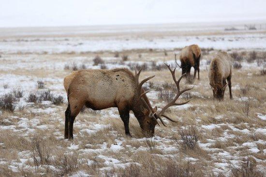 Jackson Hole Wildlife Safaris - Day Tours: Majestic elk on the refuge