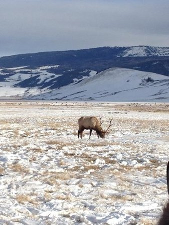 Jackson Hole Eco Tour Adventures : elk