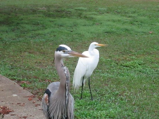 The Lake House: Heron's on the lawn.