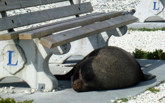 Ohau Point Seal Colony: Sleepy seal