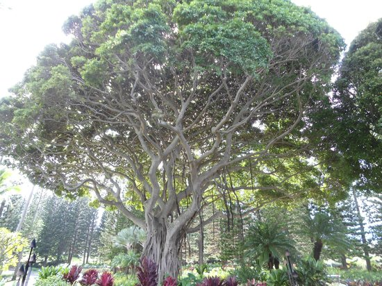 The Ritz-Carlton, Kapalua: Awesome trees