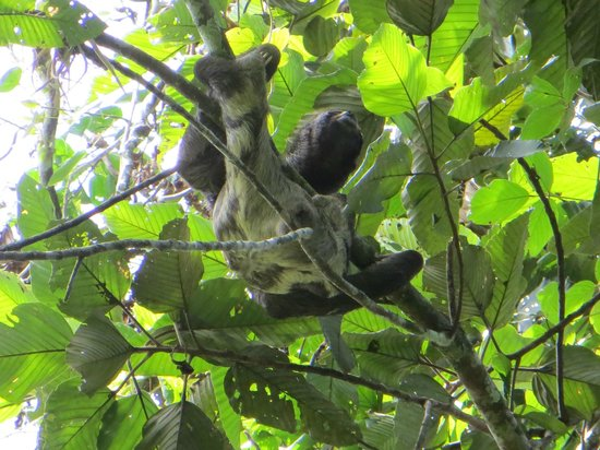 Ecological Jungle Trips: Sloth!