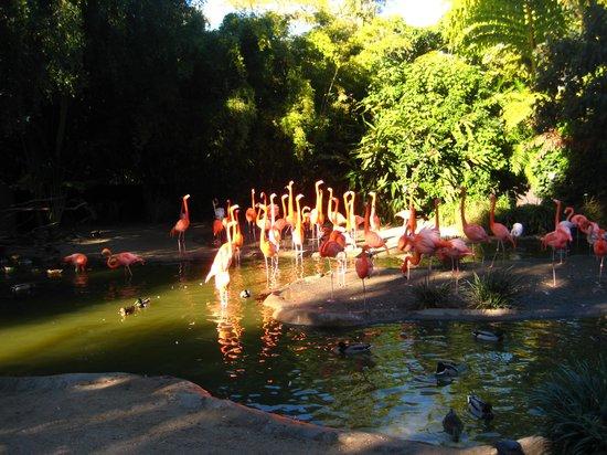 San Diego Zoo: フラミンゴ