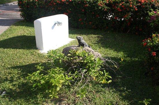 Camino Real Zaashila : Iguana