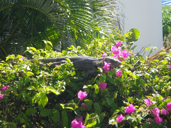 Camino Real Zaashila : Fabulous flowers getting munched by iguana