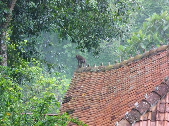 Ayung Resort Ubud : A wild monkey on the roof of one of the rooms at Ayung Resort