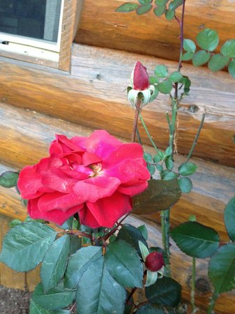 Crystal Cove Beach Resort : New Year's Day rose!